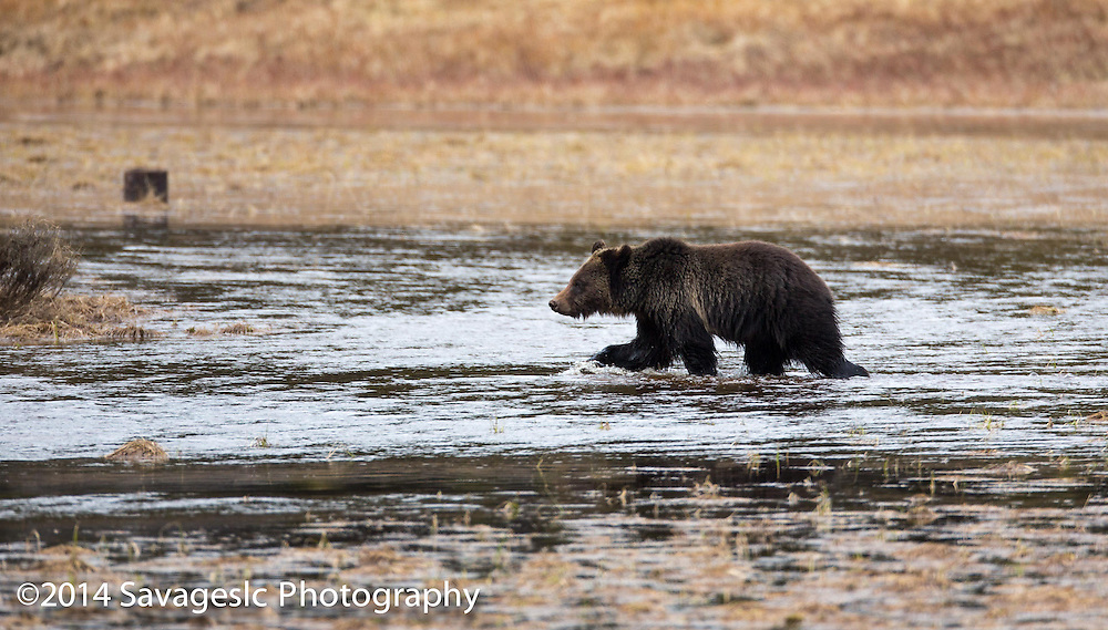 Grizzly bear near Pelcian Valley in Yellowstone National Park