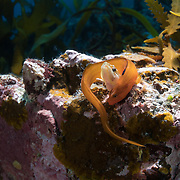 These are Zoarchias major eelpouts. The orange individual is female; the one in the hole is male. The female has approached the male, curled around him and rubbed him in a manner that divers in the area interpreted as affection or interest in the courtship context. In actuality, the female is trying to dislodge the male from the hole in order to occupy it herself. It is an antagonstic encounter, not one characterized by amorous interest. Given that these fish come up from deeper waters to congregate and socialize in this specific place at a specific time of year, the possibility that this activity is related to reproduction in the greater context is high, though how and when reproduction takes place remains unknown. Image 1 in a sequence of 3.
