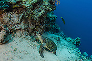 Hawksbill Turtle (Eretmochelys imbricata)<br /> Cenderawasih Bay<br /> West Papua<br /> Indonesia