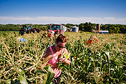 27 JULY 2020 - CARLISLE, IOWA: on the Butcher Creek Farm in Carlisle. Volunteers from Eat Greater DSM gleaned sweet corn in the fields on the farm. The corn was packaged and will be distributed to Des Moines emergency pantries, community centers, and churches in Des Moines this week. Gleaning is the act of collecting leftover crops from farmers' fields after they have been commercially harvested or gathering crops from fields where it is not economically profitable to harvest. It is an ancient tradition first described in the Hebrew Bible. A spokesperson for Eat Greater DSM said food assistance need has skyrocketed this year. In a normal year, they distribute about 300,000 pounds of food. Since the start of the COVID-19 pandemic in March, they've distributed more than 500,000 pounds of food.           PHOTO BY JACK KURTZ