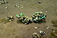 Zebra Mussels (on swimming goggles)<br /> <br /> Engbretson Underwater Photography