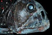 Deep Sea Viperfish Chauliodus sloani | Deep Sea fish | Tiefsee Fisch | Mit den langen Zähnen kann der Vipernfisch (Chauliodus sloani) seine Beute packen und festhalten. Ist diese aber zu groß, so dass er sie weder verschlingen noch wieder ausspucken kann, stirbt er mit der Beute im Maul. (Atlantik)