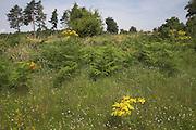 Suffolk Sandlings heathland landscape scenery, East Anglia, England