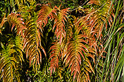 Orange and green ferns along the Sealy Tarns Track, in Aoraki / Mount Cook National Park, Canterbury region, South Island, New Zealand. In 1990, UNESCO honored Te Wahipounamu - South West New Zealand as a World Heritage Area.