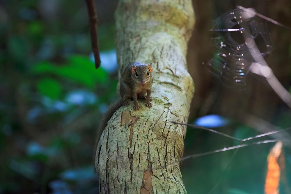 Northern Treeshrew (Tupaia belangeri) perched on a fallen tree. Kaeng Krachan National Park. Thailand.