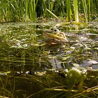Edible Frog (Pelophylax kl. esculentus), ätlig groda<br /> Location: Värpinge, Lund, Skåne, Sweden