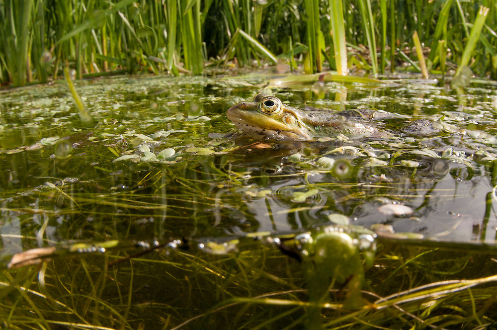 Edible Frog (Pelophylax kl. esculentus), &auml;tlig groda<br /> Location: V&auml;rpinge, Lund, Sk&aring;ne, Sweden