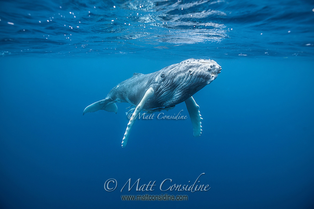 This young humpback was very curious and passed quite close before returning to its mother. (Photo by Underwater Photographer Matt Considine)