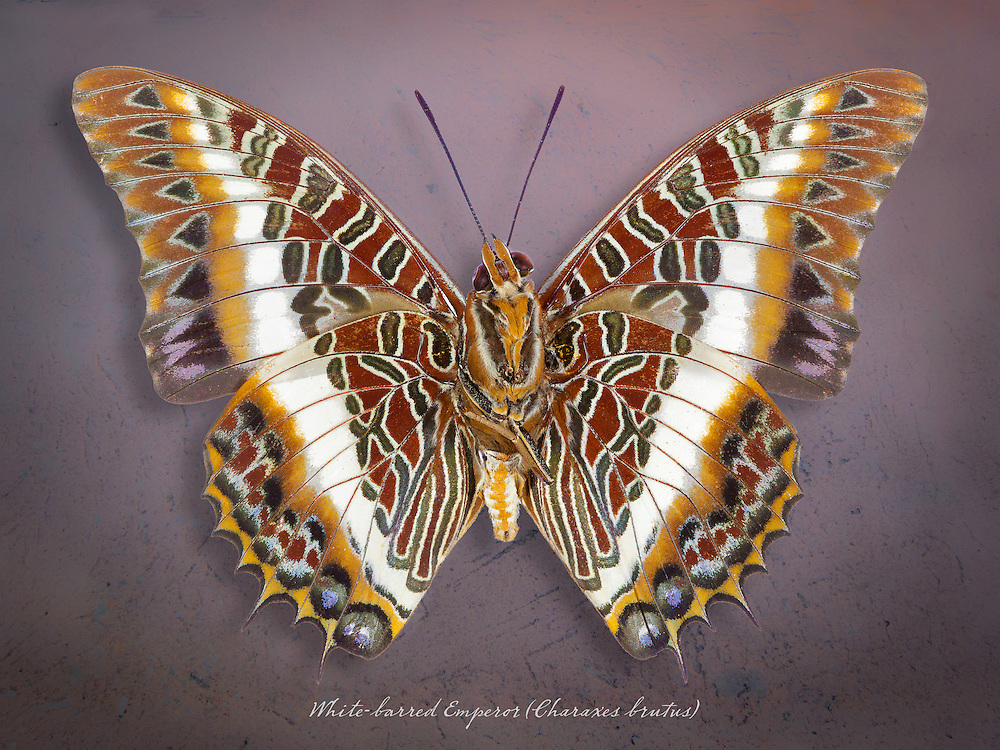 White-barred Emperor (Charaxes brutus) underside / #LPD123b