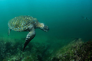 Galapagos Green Turtle (Chelonia mydas agassisi)<br /> Tagus Cove<br /> Isabela<br /> Galapagos<br /> Ecuador, South America