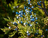 Juniper Berries. Late autumn monthly Sunday walk in the park. Hobler Park, Montgomery Township, New Jersey. Image taken with a Nikon 1 V3 camera and 70-300 mm VR lens.