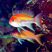 Luzon Anthis inhabit reefs. Picture taken Fiji