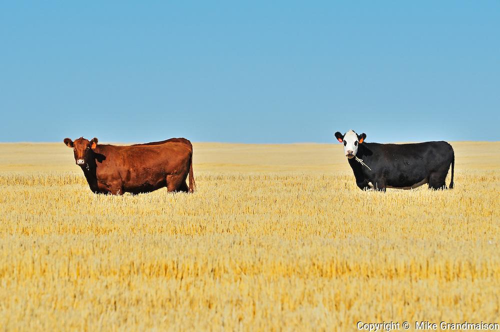 Cattle. <br /> near Maple Creek<br /> Saskatchewan<br /> Canada