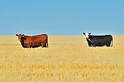 Cattle. <br /> near Maple Creek<br /> Saskatchewan<br /> Canada