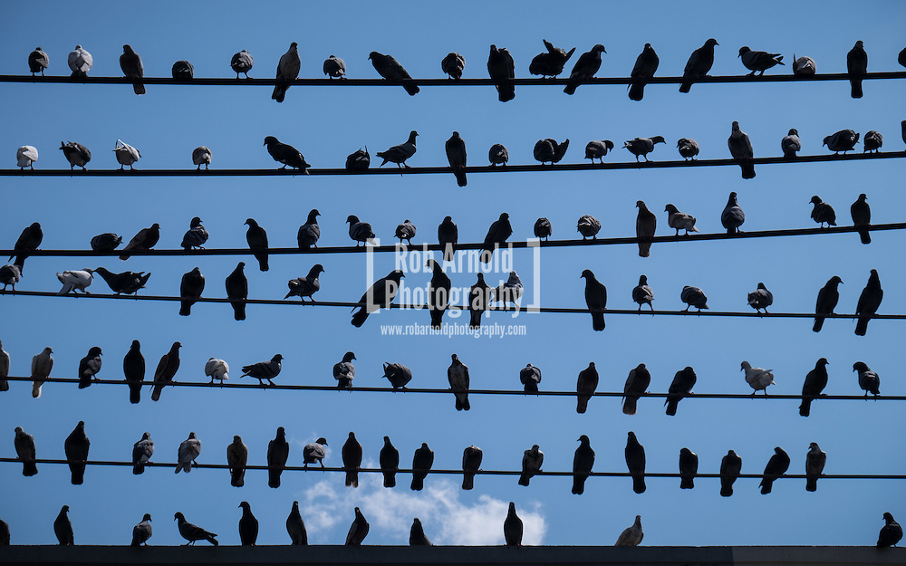 A flock of pigeons sitting on power cables in Chiang Mai, Thailand