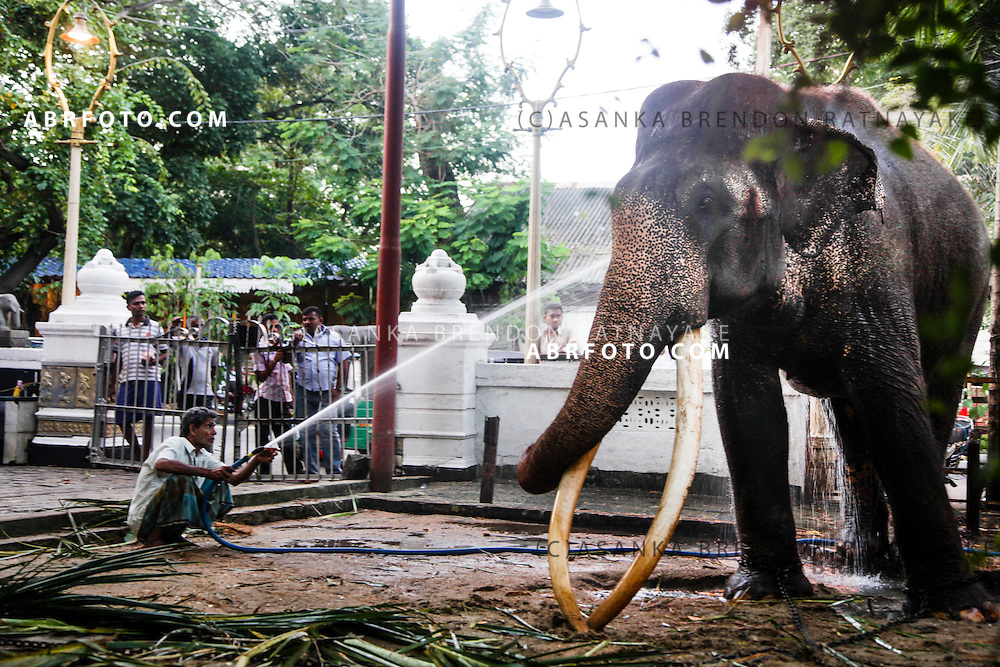 The resident The Asian elephant called Navam Raja getting a shower at his home at the Gangarama Temple.