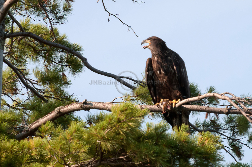 Young american bald eagle prepares to eat a squirrel