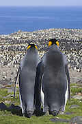 King Penguin<br /> Aptenodytes patagonicus<br /> Male and female looking out over colony<br /> Saint Andrews Bay, South Georgia