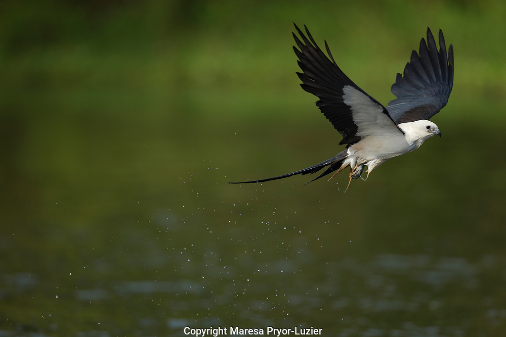 Swallow-tail kite coming up after getting water and bath on the wing, (Skimming) Elanoides forficatus, Lake Woodruff National Wildlife Refuge, Florida