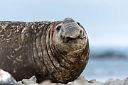 Southern Elephant Seal (Mirounga leonina) at Elephant Point, Livingston Island, Antarctica