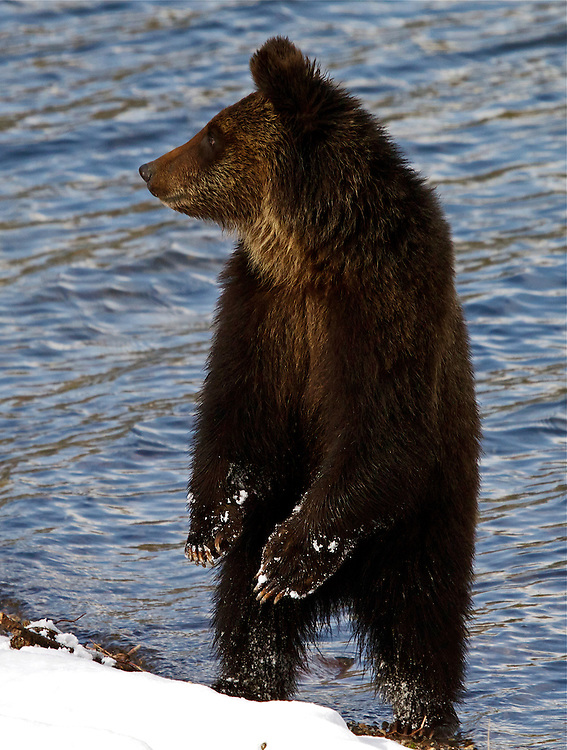 Standing Grizzly Bear cub, Yellowstone National Park