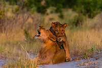 Female lions, Kwando Concession, Linyanti Marshes, Botswana.