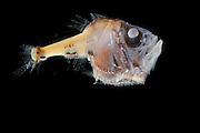 Beilfisch (Argyropelecus hemigymnus) 400-600m. FS Poseidon, Mallorca