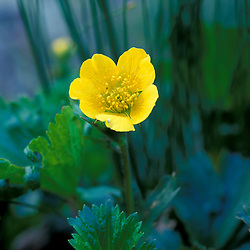 Star Lake, NH.  Mountain Avens, Geum peckii.  White Mountain N.F.  Alpine tundra...