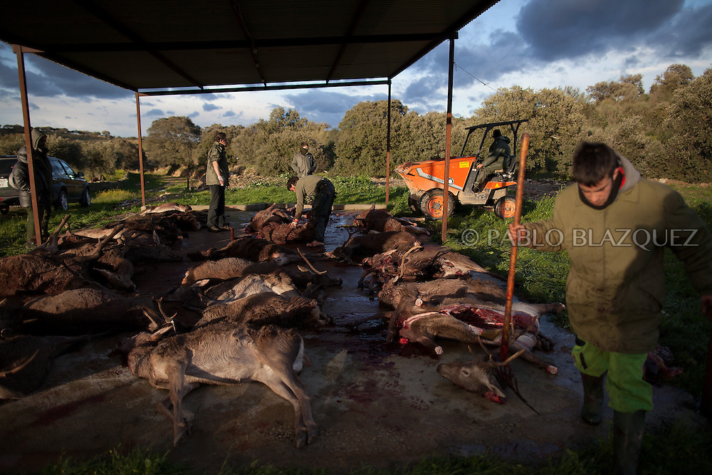 A butcher prepares dead deers after a hunting session, in Carbajo on January 19 2013, in Caceres Province, Extremadura, Spain. .Caceres has a well preserved natural environment. Plenty of its surface is dedicated to deers and wild boars hunting, making this, an important part of its economy. But most of the land belongs to large landowners. .In Carbajo, people gather three times a year to hunt deers and wild boars. In the past, they used to hunt for eating, but now days, they practice it as an sport and a social event. Then, they sell what the catch as wild game meat.