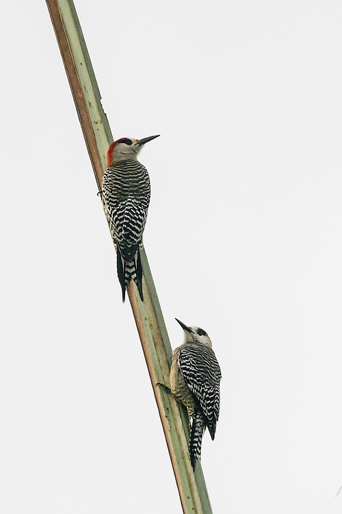West Indian Woodpeckers at the edge of Humbolt National Park on Jan. 27, 2016.
