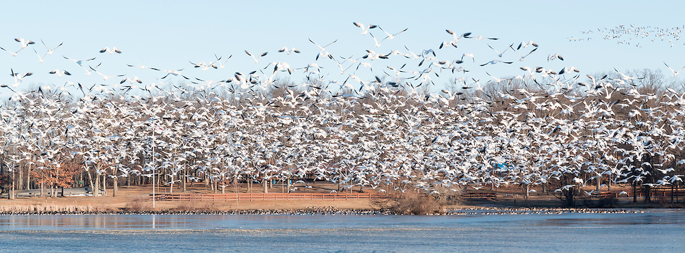 Middletown, New York - Snow geese fly over the frozen lake at Fancher-Davidge Park on Feb. 4, 2017.
