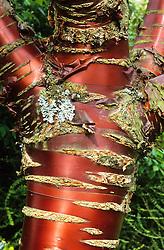 The bark of Prunus serrula