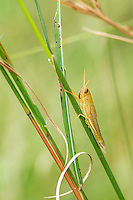 Grasshopper on grass stem. Vernon Crookes Nature Reserve. Southern KwaZulu Natal. South Africa