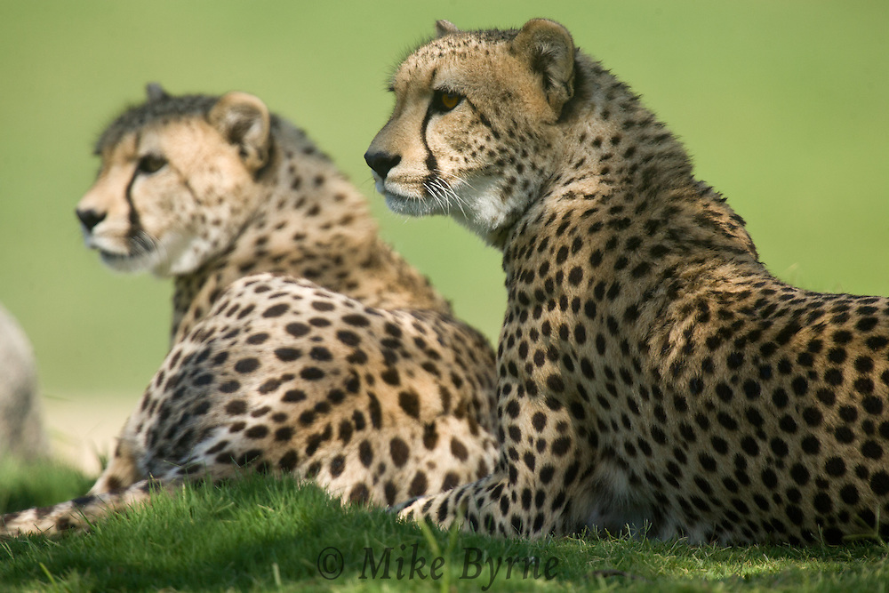 Two cheetahs lie in the grass, watching...