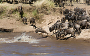 Wildebeests crossing the Mara River, Kenya, in early August 2010, as a part of their annual migration.