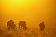 Bison grazing at sunset. National Bison Range. Moiese, Montana