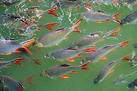 Tinfoil Barb,  Barbonymus schwanenfeldii, Kwai River, Kanchanaburi, Thailand