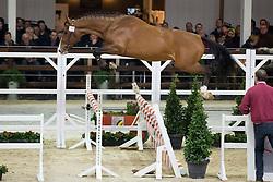 014, Nestor De Mariposa<br /> BWP Hengsten keuring Koningshooikt 2015<br /> © Hippo Foto - Dirk Caremans<br /> 21/01/16