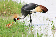 Grey Crowned Crane (Balearica regulorum) with chick. Both sexes have the fan-like crest on top of their heads which gives this bird its name. This bird is found throughout southern and eastern Africa, inhabiting marshes and wet grassland. It feeds on plants, seeds, insects and other small invertebrates. Photographed in Tanzania, Serengeti National Park