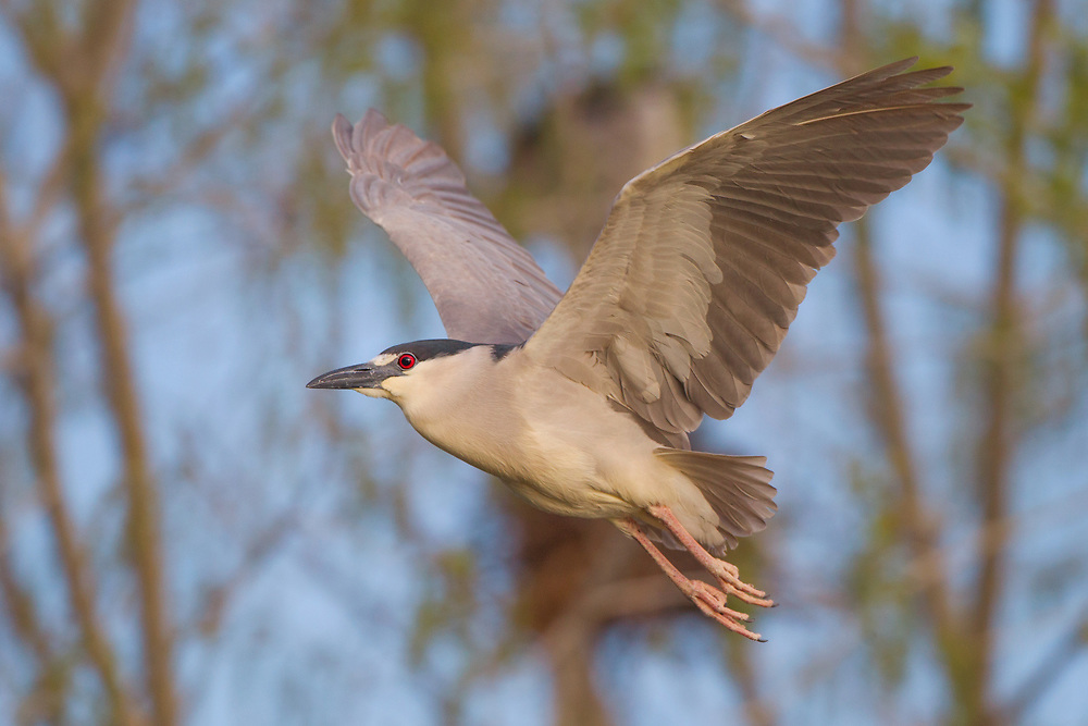 Black Crowned Night Heron image captured in Colorado.  A night herons eyes are larger than other herons eyes.  An adaptation for feeding in low light.