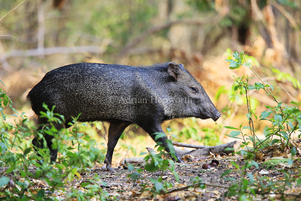 Collared peccary (Pecari tajuca). Tropical dry forest, Palo Verde National Park, Guanacaste, Costa Rica.