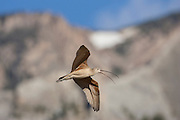 Long-billed curlew in flight on breeding range in Wyoming