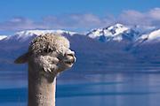 Alpaca in New Zealand
