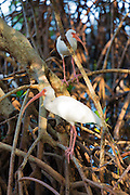 American White Ibis, Eudocimus albus, wading birds with long curved bill, on Captiva Island, Florida USA