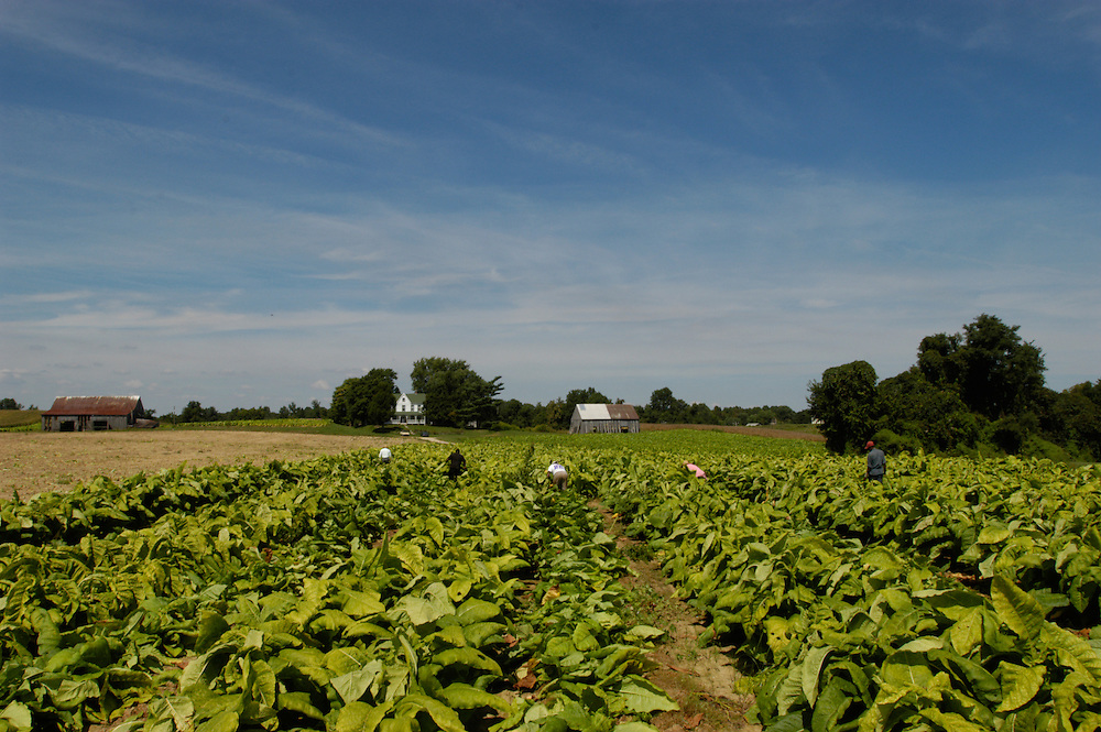 Harvesting Tobacco on farm in Southern Maryland