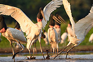 Jabiru (Jabiru mycteria) im s&uuml;dlichen Pantanal an der Estrada Parque, Brasilien<br /> <br /> Jabiru in the southern part of the Pantanal along the Estrada Parque, Brazil