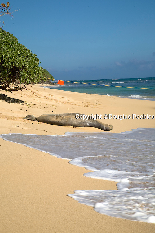 Monk seal, Windward Oahu, Hawaii