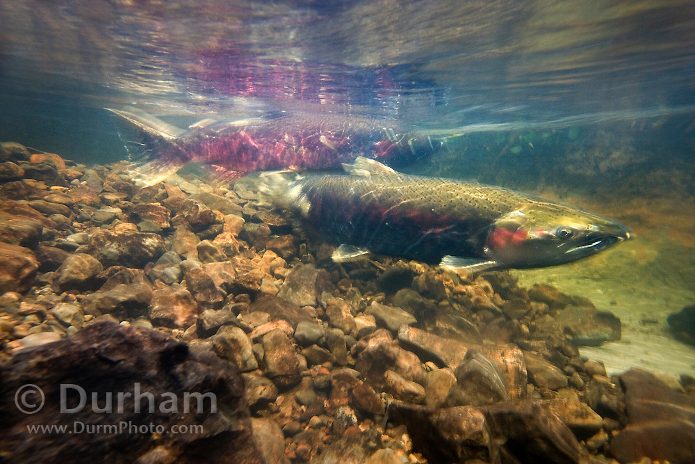 A female coho salmon (Oncorhynchus kisutch) (foreground) fans her redd with her tail to keep oxygen flowing over the eggs while a male fertilizes the eggs with sperm. Thompson Creek, along the Oregon Coast. This creek is just yards from a new home development project.
