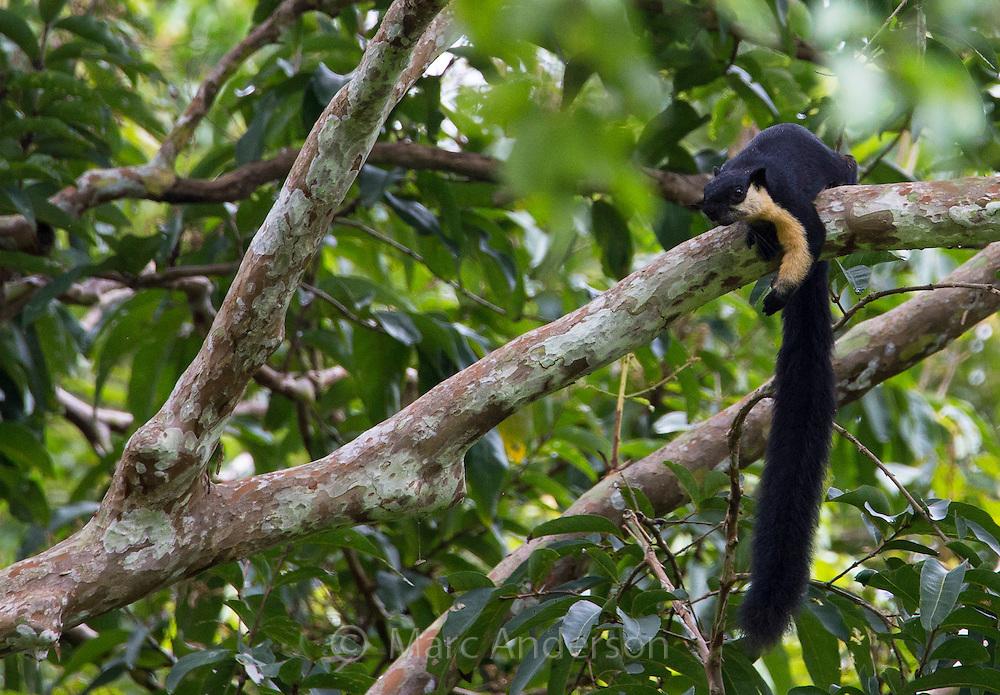 Black Giant Squirrel (Ratufa bicolor) or Malayan Giant Sqirrel, Kaeng Krachan National park, Thailand