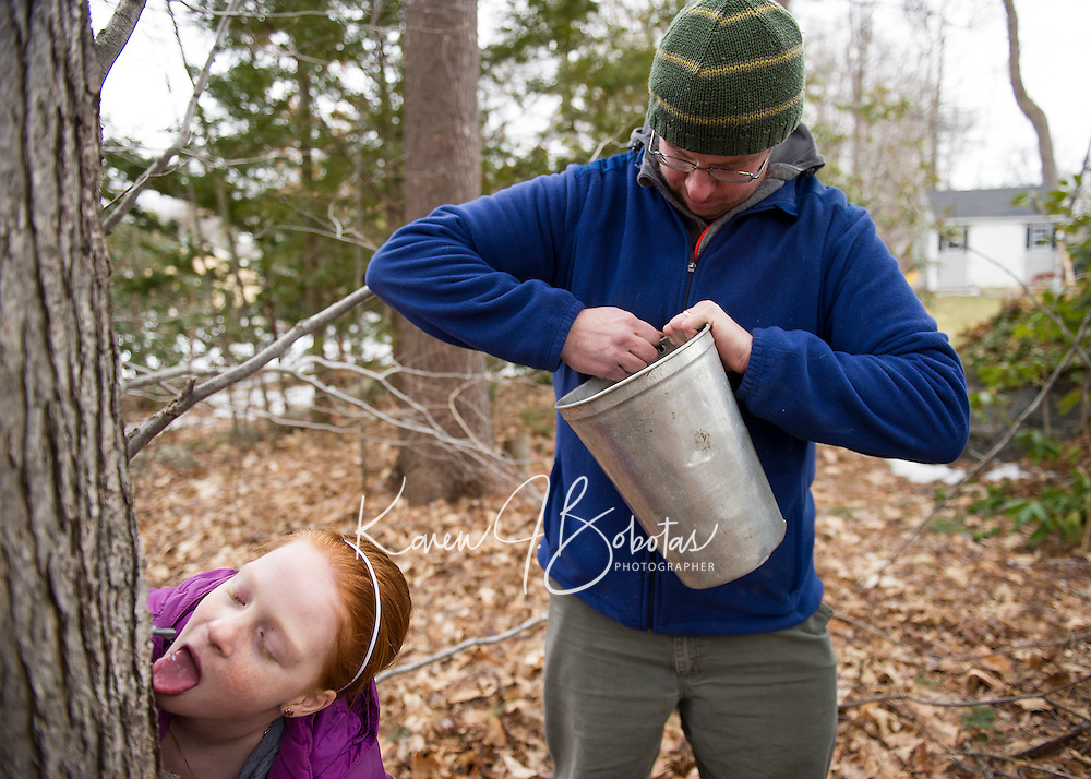 """Julia goes in for a quick taste while her dad Marc Herrmann readies the sap bucket during a """"family tree tapping"""" at Herrmann's father in law's yard on Sunday afternoon.  (Karen Bobotas/for the Laconia Daily Sun)"""